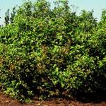 Redosier Dogwood 1